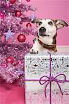 Jack Russell Terrier with Christmas Gift    Stock Photo - Premium Rights-Managed, Artist: Marie Blum, Code: 700-01716910