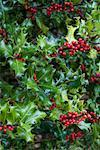 Close-up of Holly    Stock Photo - Premium Rights-Managed, Artist: Johann Wall, Code: 700-01742714