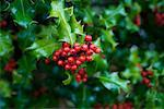 Close-up of Holly    Stock Photo - Premium Rights-Managed, Artist: Johann Wall, Code: 700-01742715