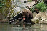 Grizzly bear (Ursus arctos horribilis) eating a salmon Stock Photo - Premium Royalty-Freenull, Code: 625-01745544