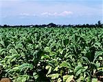 Tobacco field Stock Photo - Premium Royalty-Free, Artist: Puzant Apkarian, Code: 614-01755918