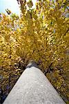 Looking Up at Street Light and Maple Tree    Stock Photo - Premium Rights-Managed, Artist: Bryan Reinhart, Code: 700-01788925