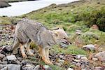 Patagonian Gray Fox, Torres del Paine, Patagonia, Chile    Stock Photo - Premium Rights-Managed, Artist: F. Lukasseck, Code: 700-01827475