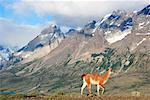 Guanaco, Torres del Paine National Park, Patagonia, Chile    Stock Photo - Premium Rights-Managed, Artist: F. Lukasseck, Code: 700-01827490