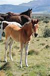 Horses in Pasture, Patagonia, Chile    Stock Photo - Premium Rights-Managed, Artist: F. Lukasseck, Code: 700-01827496