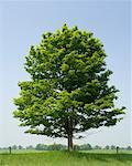 Large Maple Tree    Stock Photo - Premium Rights-Managed, Artist: Ken Davies, Code: 700-01837583
