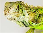 Portrait of Iguana    Stock Photo - Premium Rights-Managed, Artist: Dan Lim, Code: 700-01837693