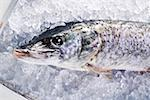 Pike on ice Stock Photo - Premium Royalty-Free, Artist: AWL Images, Code: 659-01848111