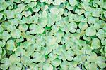 High angle view of lily pads in a pond Stock Photo - Premium Royalty-Free, Artist: Marc Vaughn, Code: 630-01872855