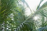 Sun shining through palm leaves Stock Photo - Premium Royalty-Free, Artist: R. Ian Lloyd, Code: 630-01874991