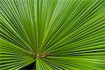 Palm Fronds at National Orchid Garden in Singapore Botanical Gardens, Singapore    Stock Photo - Premium Rights-Managed, Artist: R. Ian Lloyd, Code: 700-01879590