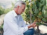 Mature man in vineyard examining grapes, side view Stock Photo - Premium Royalty-Free, Artist: Hiep Vu                  , Code: 618-01885791