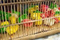 Dyed Chicks at Pasar Ngasem, Yogyakarta, Central Java, Java, Indonesia    Stock Photo - Premium Rights-Managednull, Code: 700-01954898