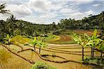 Terrace Farms, Dieng Plateau. Central Java, Java, Indonesia