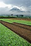 Farmland Near Mount Sundoro, Dieng Plateau, Central Java, Java, Indonesia