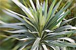 Yucca Plant    Stock Photo - Premium Rights-Managed, Artist: F. Lukasseck, Code: 700-01954985