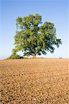 Oak Tree in Field, Hessia, Germany    Stock Photo - Premium Rights-Managed, Artist: F. Lukasseck, Code: 700-01954992