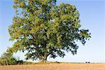 Oak Tree in Field, Hessia, Germany    Stock Photo - Premium Rights-Managed, Artist: F. Lukasseck, Code: 700-01954994