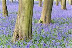 Bluebells in Beech Forest, Hertfordshire, England    Stock Photo - Premium Rights-Managed, Artist: F. Lukasseck, Code: 700-01955043