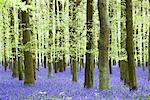 Bluebells in Beech Forest, Hertfordshire, England    Stock Photo - Premium Rights-Managed, Artist: F. Lukasseck, Code: 700-01955046