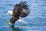 Eagle Diving for Fish, Homer, Alaska, USA    Stock Photo - Premium Rights-Managed, Artist: F. Lukasseck, Code: 700-01955181