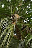 Monkeys in Tree, Manuel Antonio National Park, Puntarenas Province, Costa Rica    Stock Photo - Premium Rights-Managednull, Code: 700-01955529