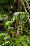 Unfurling Fern Leaf, El Yunque Rainforest National Park, Puerto Rico    Stock Photo - Premium Rights-Managed, Artist: dk & dennie cody, Code: 700-01993355