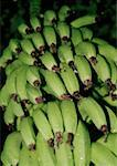 Bananas growing on a tree Stock Photo - Premium Royalty-Free, Artist: olovedog                      , Code: 653-02002475