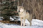 Timber Wolf, Minnesota, USA Stock Photo - Premium Rights-Managed, Artist: F. Lukasseck, Code: 700-02010732