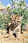 Portrait of Baby Cougar, Montana, USA    Stock Photo - Premium Rights-Managed, Artist: F. Lukasseck, Code: 700-02010893