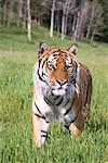 Portrait of Siberian Tiger, Montana, USA    Stock Photo - Premium Rights-Managed, Artist: F. Lukasseck, Code: 700-02010902