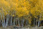 Aspen trees Stock Photo - Premium Royalty-Freenull, Code: 621-02027964