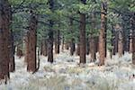 Pine trees in woods Stock Photo - Premium Royalty-Freenull, Code: 621-02027966