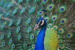 Peacock Stock Photo - Premium Royalty-Free, Artist: Minden Pictures, Code: 621-02027985