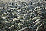 Close-up of Plants on Farm, Brook, Mecklenburg-Vorpommern, Germany    Stock Photo - Premium Rights-Managed, Artist: photo division, Code: 700-02038175