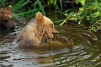 Young Brown Bear Catching Fish    Stock Photo - Premium Royalty-Freenull, Code: 600-02046298