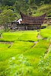 Traditional House and Rice Terraces, Tomok, Samosir Island, Sumatra, Indonesia