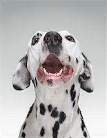 Close up of a Dalmatian dog Stock Photo - Premium Royalty-Freenull, Code: 649-02055511