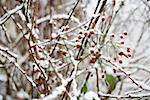 Winter berries Stock Photo - Premium Royalty-Free, Artist: Martin Ruegner, Code: 614-02072974