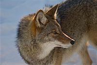 Portrait of Coyote, Omega Park, Nontebello, Quebec, Canada    Stock Photo - Premium Royalty-Freenull, Code: 600-02076394