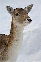 Red Deer, Omega Park, Montebello, Quebec, Canada    Stock Photo - Premium Royalty-Freenull, Code: 600-02076401