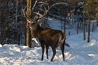 Wapiti, Omega Park, Montebello, Quebec, Canada    Stock Photo - Premium Royalty-Freenull, Code: 600-02076405