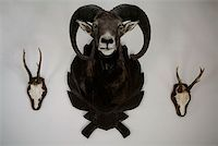 ram (animal) - A mounted ram and two skulls with antlers Stock Photo - Premium Royalty-Freenull, Code: 653-02078757
