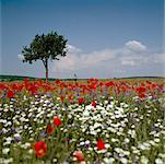 A distant person standing a field of wildflowers Stock Photo - Premium Royalty-Free, Artist: Minden Pictures, Code: 653-02078859
