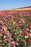 Ranunculus Flower Fields, Carlsbad, San Diego, California