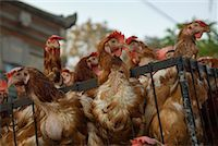Chickens for Sale, Ubud, Bali, Indonesia    Stock Photo - Premium Rights-Managednull, Code: 700-02081295