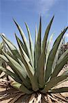 Agave Plant, Boca Onima, Bonaire, Netherlands Antilles    Stock Photo - Premium Rights-Managed, Artist: photo division, Code: 700-02082050