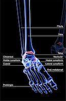 The bones of the foot Stock Photo - Premium Royalty-Freenull, Code: 671-02092578