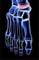 The bones of the foot Stock Photo - Premium Royalty-Freenull, Code: 671-02092634