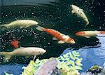 Carp Stock Photo - Premium Royalty-Free, Artist: Photocuisine, Code: 670-02110719